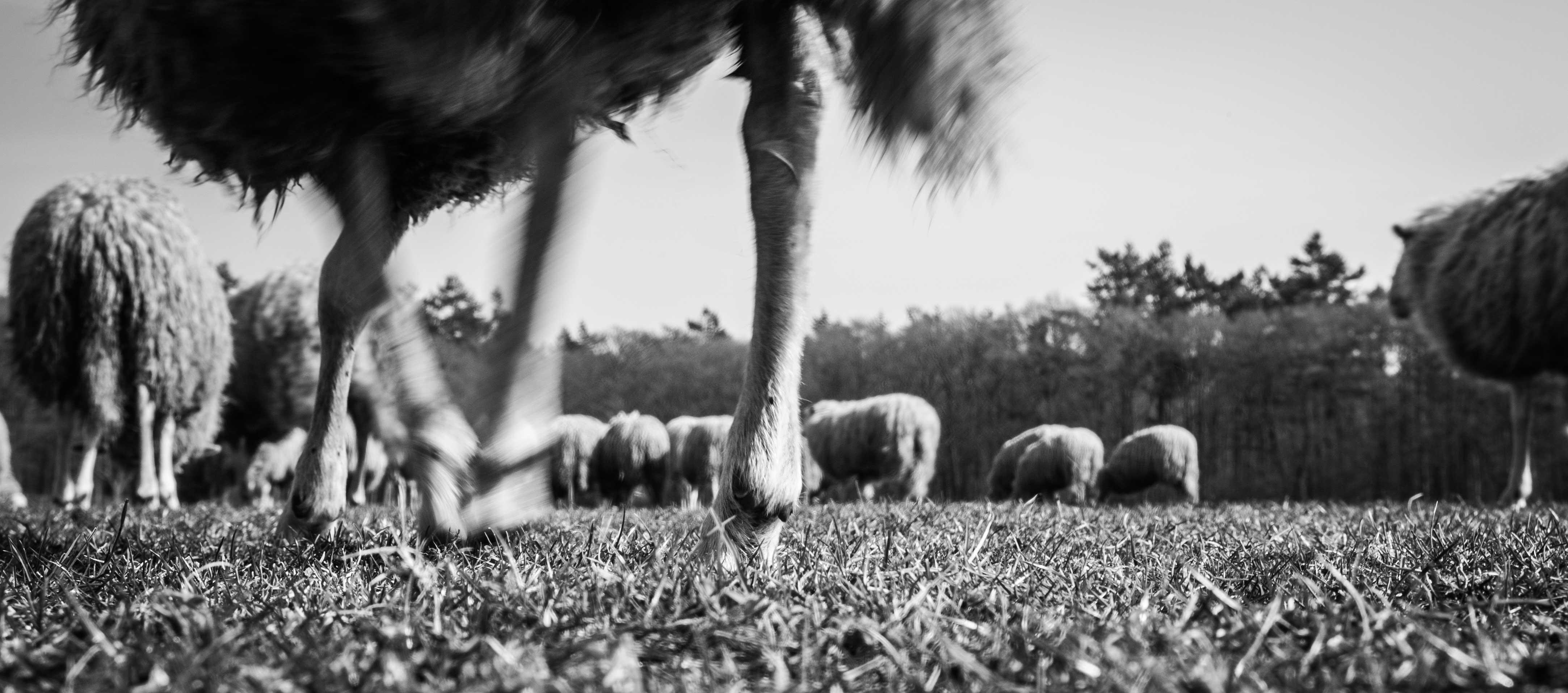 PJF_schapen